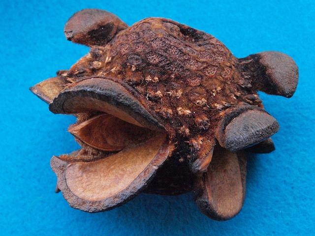 Firewood Banksia, Banksia Menziesii, Banksia Tap