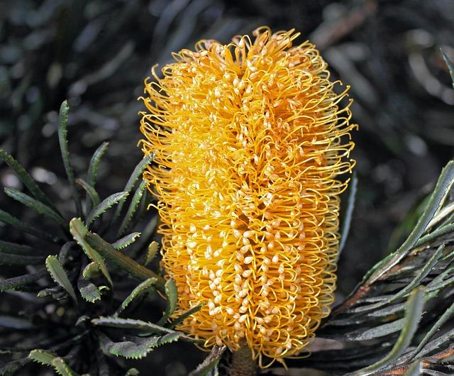 Hairpin Banksia, Banksia Spinulosa