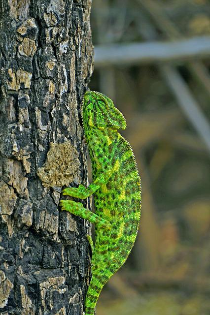 Chameleon, Indian, Bansara, Bharat