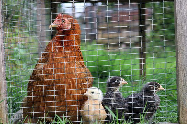 Pekin, Chicken, Hen, Bird, Bantam, Poultry, Chick