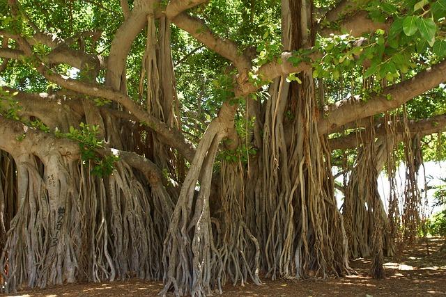 Banyan Tree, Honolulu, Hawaii