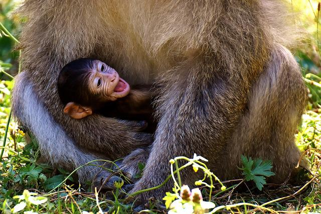 Ape, Baby Monkey, Barbary Ape, Endangered Species