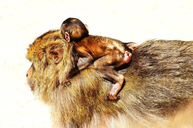 Barbary Ape, Baby Monkey, Endangered Species