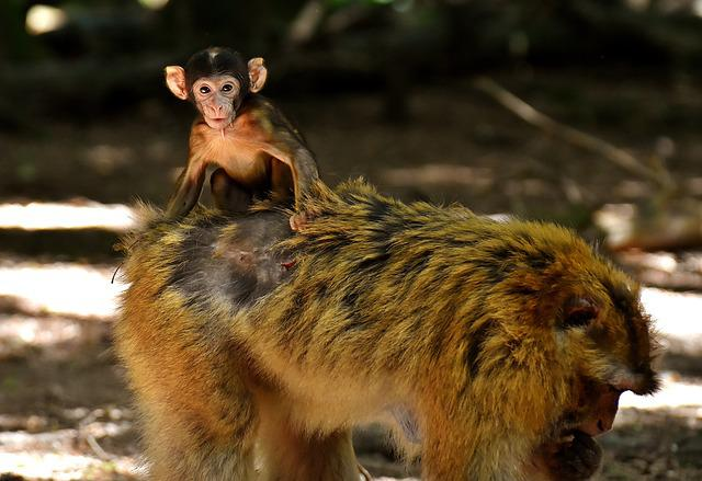 Baby Monkey, Barbary Ape, Endangered Species, Feed