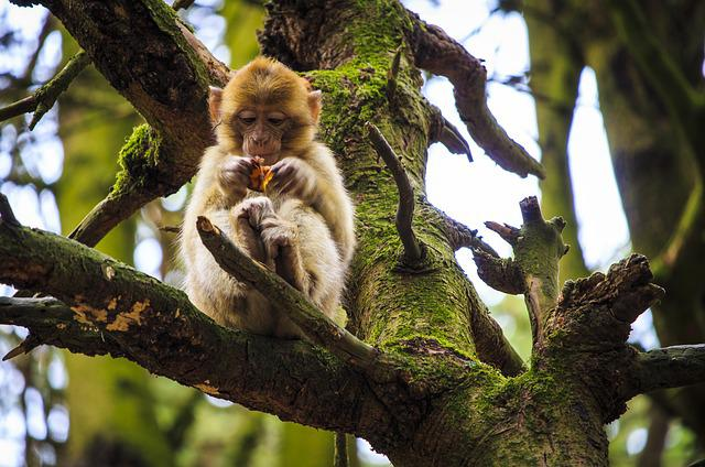 Monkey Baby, Barbary Ape, Monkey Mountain, Salem, Eat