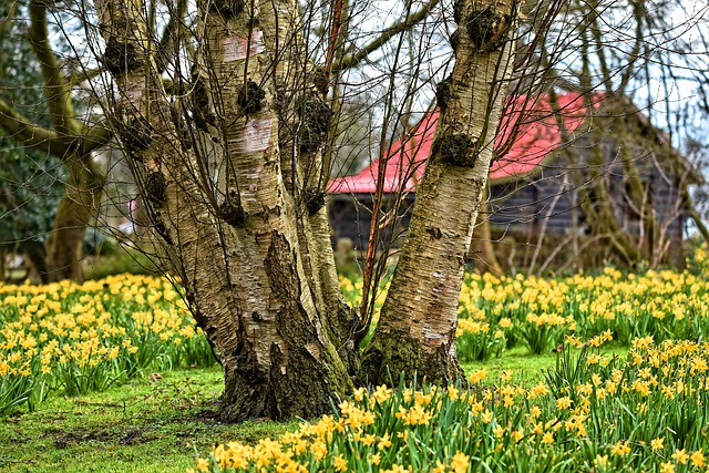 Birch, Birch Tree, Tree, Trunk, Bark, Branch, Daffodil