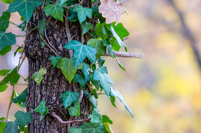 Ivy, Log, Autumn, Bark, Climber, Creeper, Tree, Fouling