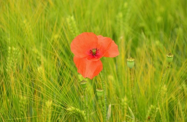 Poppy, Poppy Flower, Barley Field, Klatschmohn, Barley