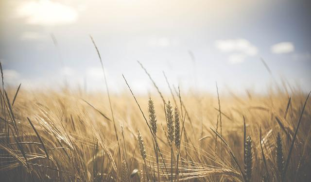 Wheat, Wheat Crops, Barley, Crops, Cereals, Food