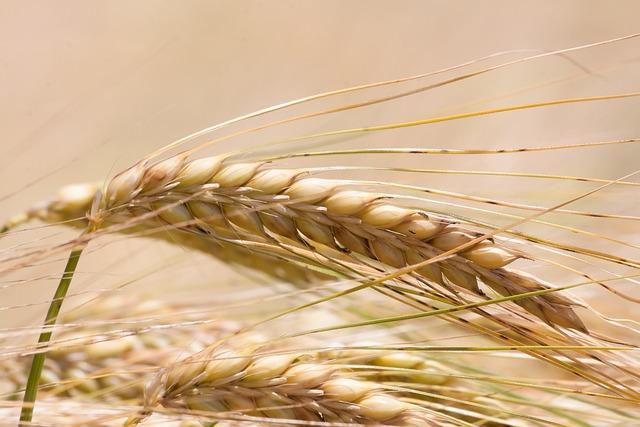 Ear, Barley, Cereals, Infructescence, Staple Food