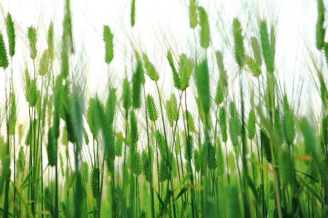Abstract, Barley Field, Cheongbori, Jeju Island, Jeju