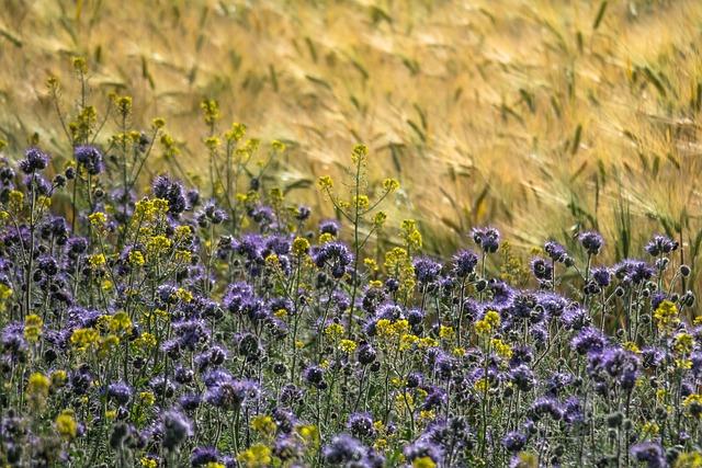 Phacelia, Barley, Mustard, Flower Meadow, Bee Friend