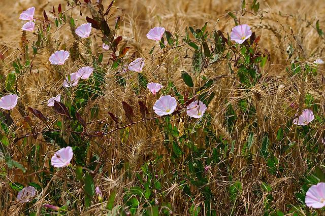 Edge Of Field, Bindweed, Barley, Flower Vine, Winds
