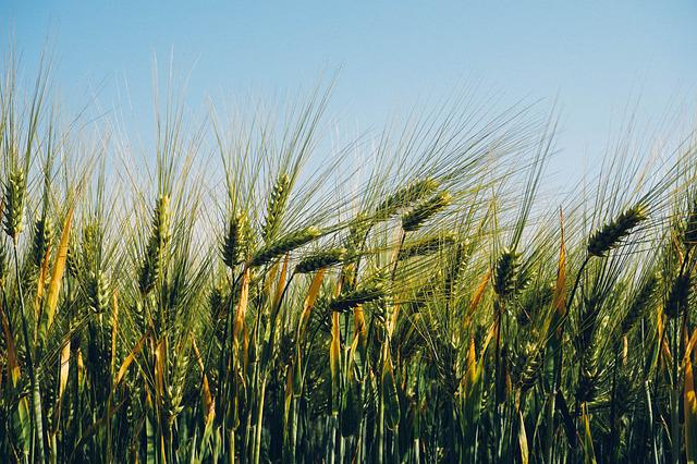 Field, Agriculture, Wheat, Barley