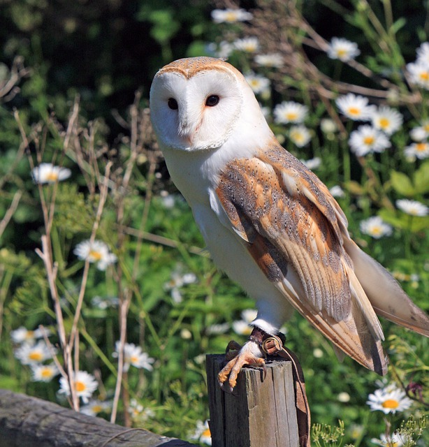 Owl, Bird, Wildlife, Barn Owl, Bird Of Prey, Animal