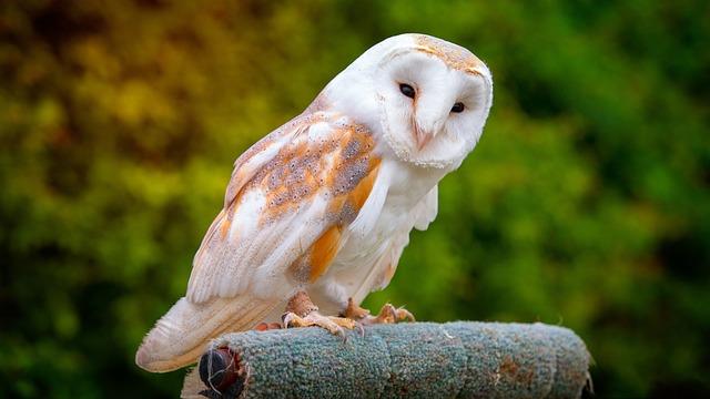 Barn Owl, Nature, Wildlife, Bird, Outdoors