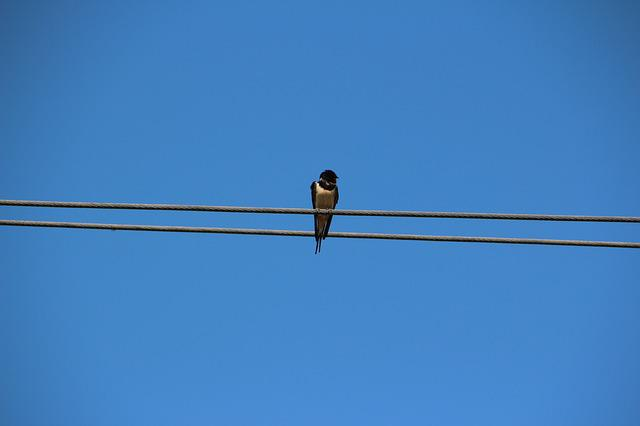 Bird, Schwalbe, Sky, Nature, Lines, Blue, Barn Swallow