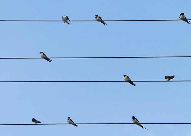 Birds, Swallows, Lines, Sit, Barn Swallow, Nature