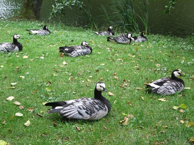 Branta Leucopsis, Birds, Animals, Geese, Barnacle Goose