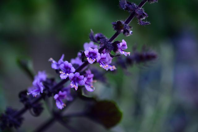 Basil Bush Basil, Flowers, Herbs, Culinary Herbs