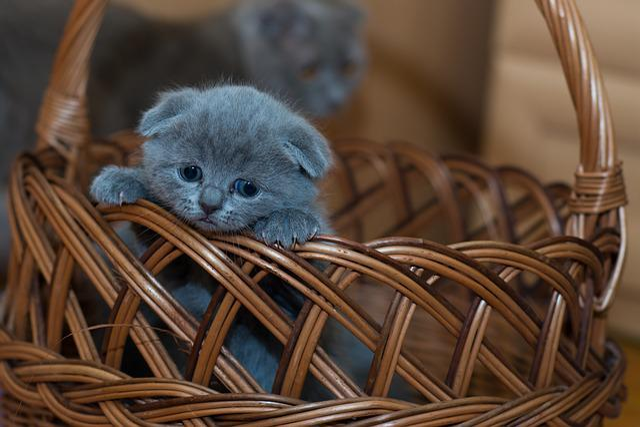 Kitten, Basket, Pet, Adorable, Animal, Cat, Cute, Kitty