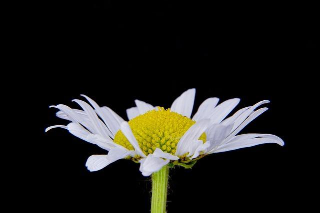 Basket Flower Greenhouse, Marguerite