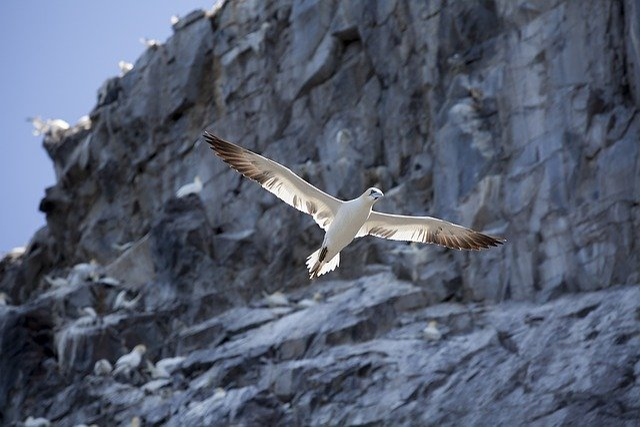 Gannet, Bass Rock, Bird, North Berwick, Firth Of Forth
