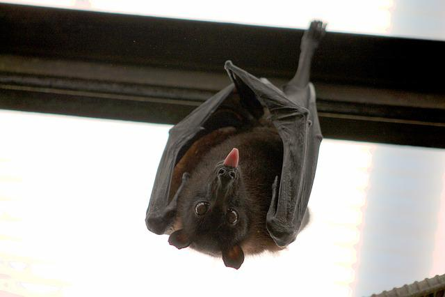 Bat, Flying Fox, Vampire, Language, Nice