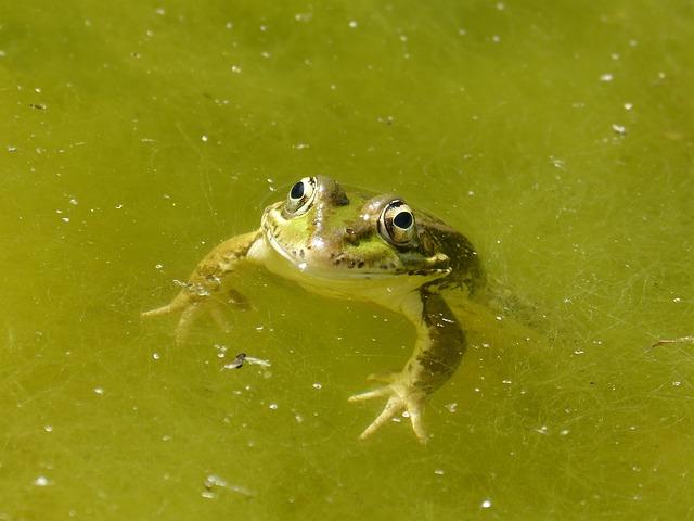Frog, Raft, Algae, Green Frog, Batrachian