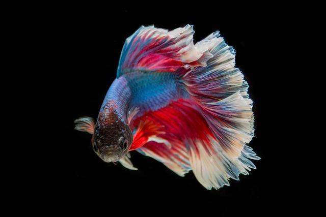 Fighting Fish, Fish, Three Color, Battle, Fish Thailand