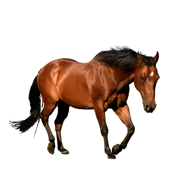 Horse, Cutout, Isolation, Bay, Animal, Equestrian