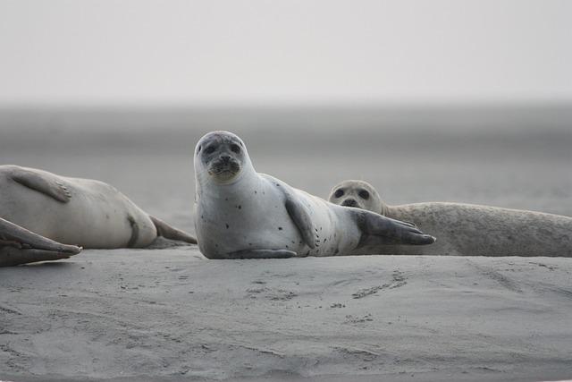 Seals Veaux Marins, Seals, Wild, Nature, Sea, Bay Sum