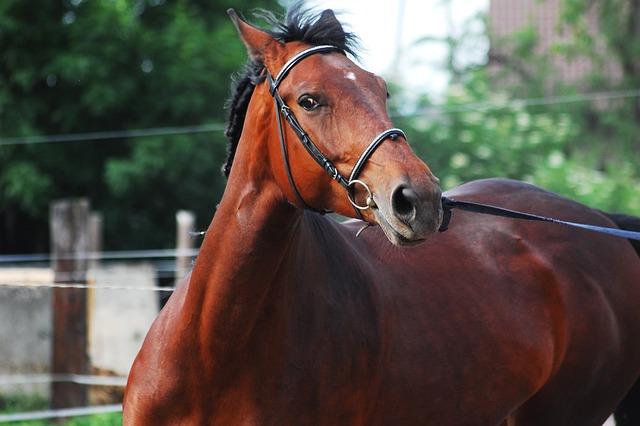 The Horse, Silesian, Horse, The Silesian, Asterisk, Bay