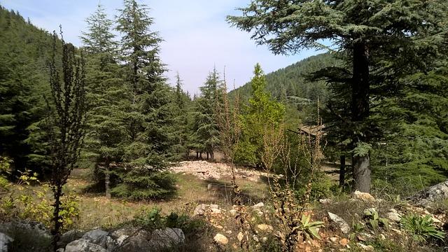 Pine, Tar, Tree, Forest, Bc