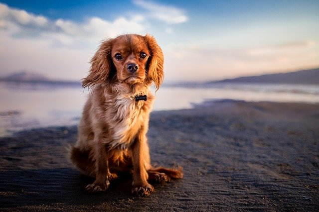 Adorable, Animal, Beach, Canine, Cute, Dog, Hairy, Pet