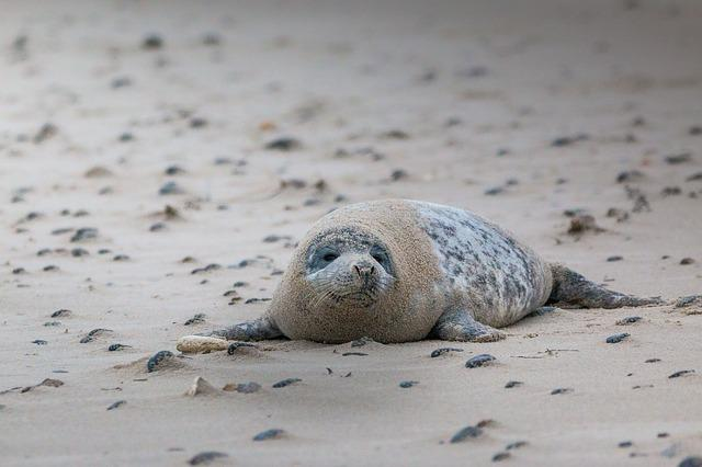 Grey Seal, Robbe, Halichoerus Grypus, Beach, Dune