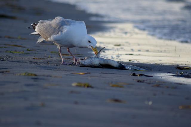 Beach Life, Seagull, Food Intake, Bird