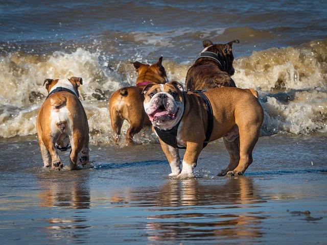 Beach, Playing Bulldogs, English Bulldog