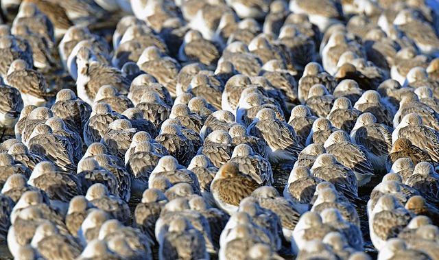 Sanderlings, Birds, Cuxhaven, Beach