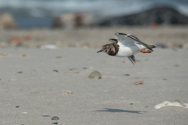 Stone Waltz, Bird, Beach, Turnstone, Wadden Sea