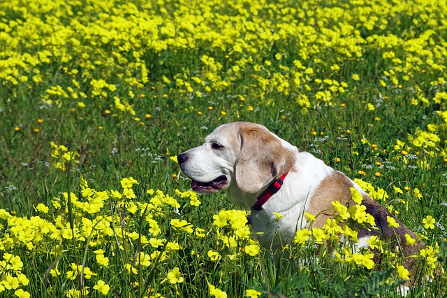 Beagle, Dog, Snuff, Hound, Friend, Elderly, Old