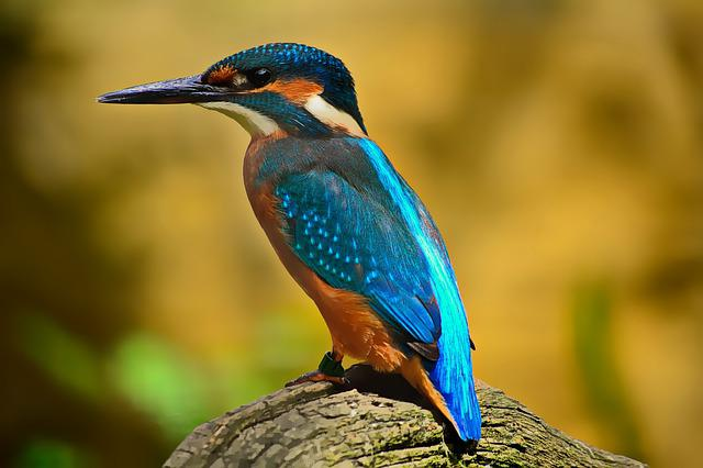 Bird, Kingfisher, Feathers, Plumage, Beaj, Avian
