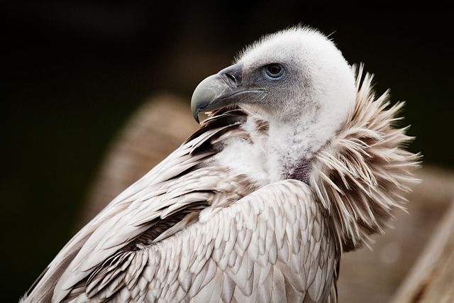 Animal, Vulture, Scavenger, Beak, Bird, Feather