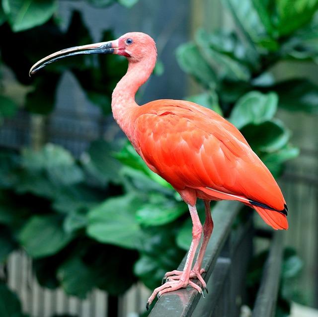 Scarlet Ibis, Bird, Wings, Feather, Wildlife, Beak