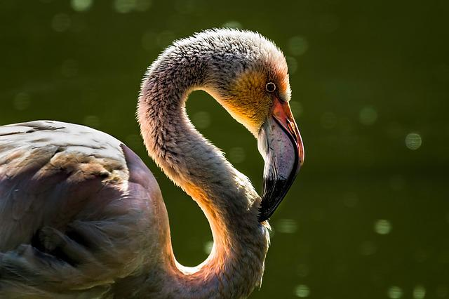 Bird, Flamingo, Fauna, Beak, Animal, Nature