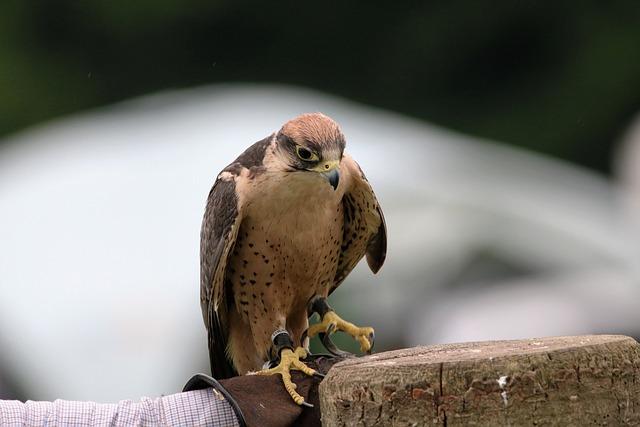Lanner Falcon, Falcon, Bird, Lanner, Beak, Predator