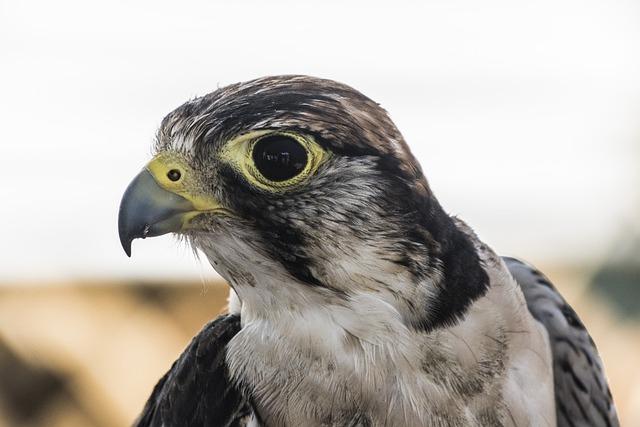 Falcon, Bird Of Prey, Wild, Beak