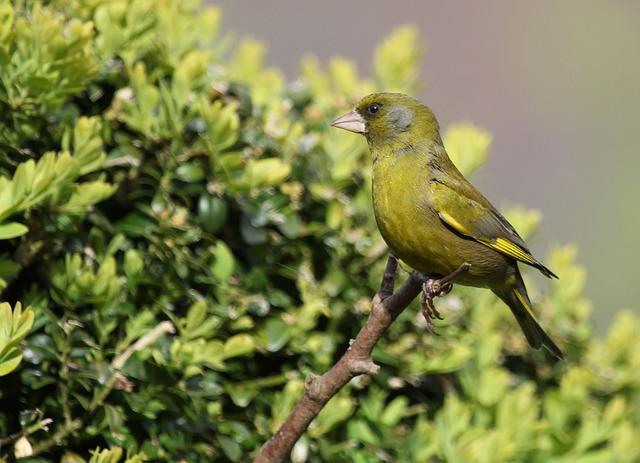 Bird, Finch, Green, Perched, Feather, Beak