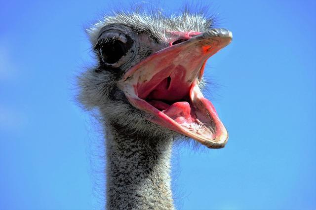 The Ostrich, Ostrich Head, Beak, Fluff, Bird, Stupid