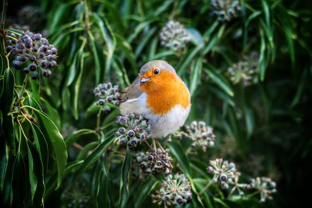 Beak, Bird, European Robin, Eye, Robin